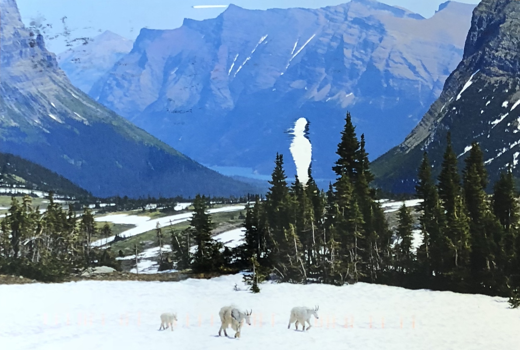 Mountain goats in Glacier National Park, Montana.